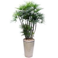 종려죽 (lady palm / Rhapis humilis)