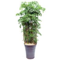 폴리시아스 3호(Polyscias filicifolia)