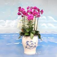 호접란 핑크 56호