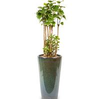 관엽식물 파비앙